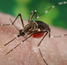 Aedes aegypti mosquito_CDC Public Health Image Library_exranet home